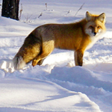 Photo courtesy of Dawn Thompson. A golden fox stands in the snow.